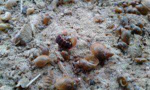 09112013_GL_José Domingo Gilgado_Nyctophila reichii_Larva comiendo Physia