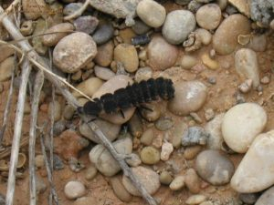 18112006_BV_Ferran Turmo_Alòs de Balaguer_Lleida_Nyctophila reichii_2