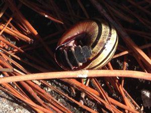 05102013_GL_Blanca Fernández_Xalfas_Muros_Coruña_Nyctophila reichii_Larva comiendo caracol