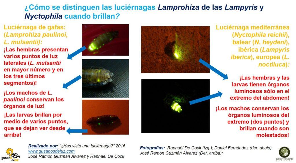 Brillo de Lamprohiza y Lampyris y Nyctophila