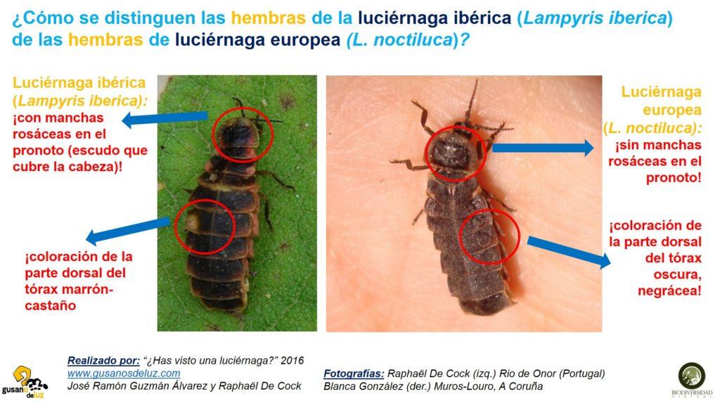 Hembra de Lampyris iberica y Larmpyris noctiluca