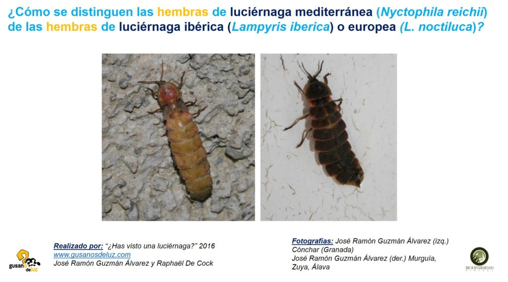Hembra de Nyctophila reichii y hembras de Lampyris_solo foto