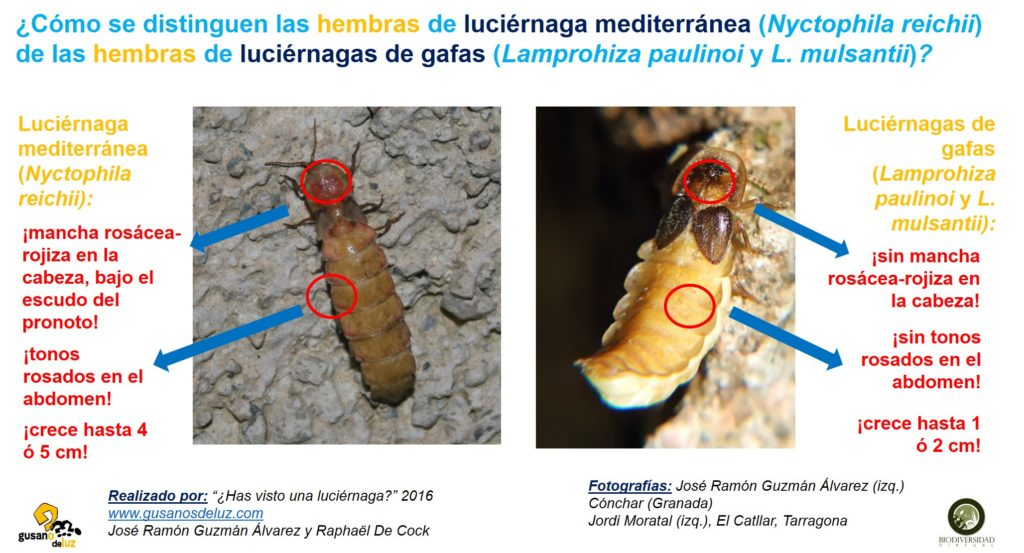 Hembra de Nyctophila y hembra de Lamprohiza