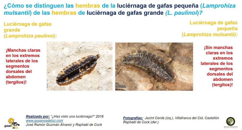Larva de Lamprohiza mulsantii y larva de Lamprohiza paulinoi_diferencias - copia