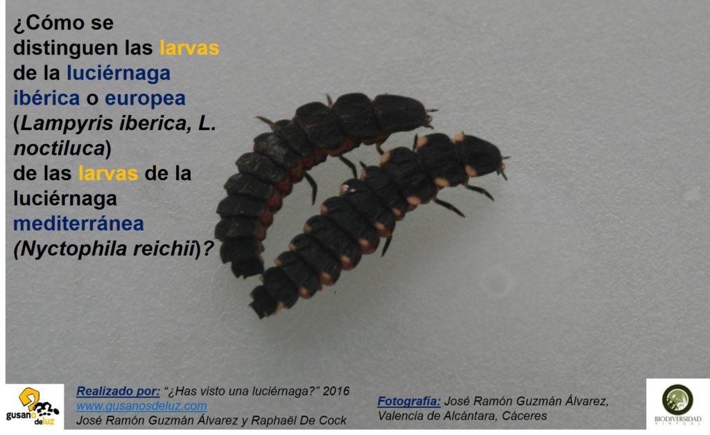 Larva de Nyctophila reichii y larva de Lampyris_solo foto