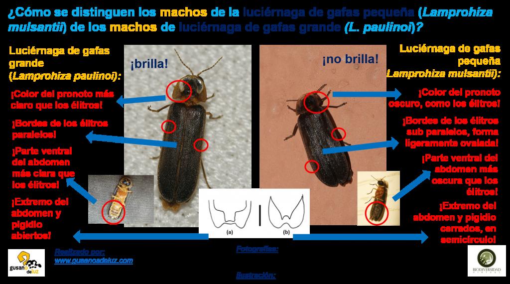 Macho de Lamprohiza paulinoi y de Lamprohiza mulsantii.jpg