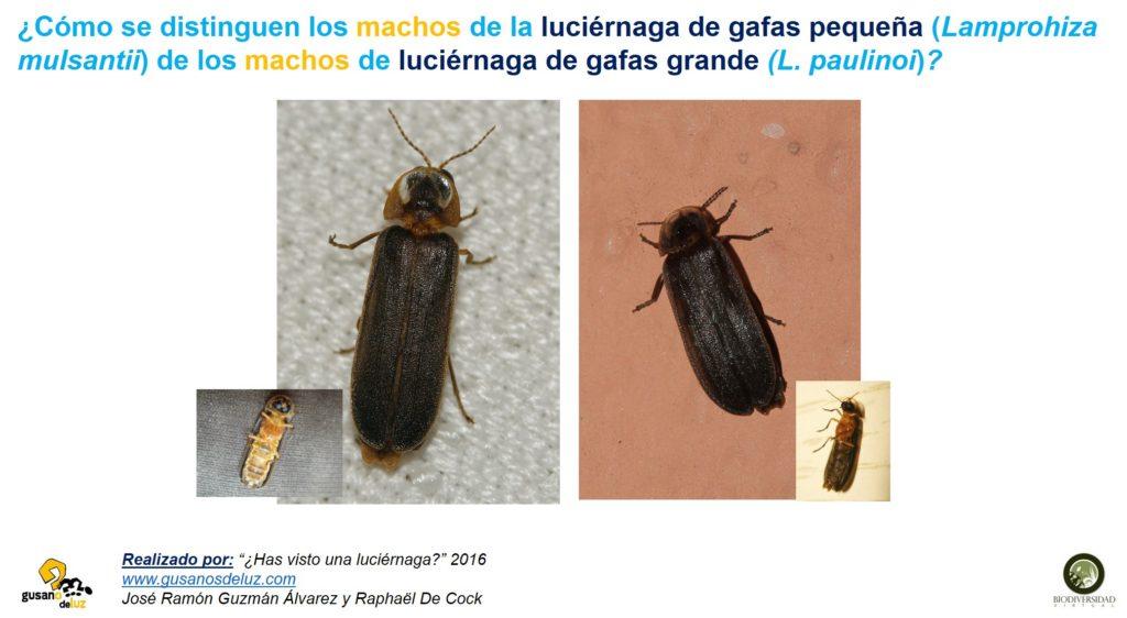 Macho de Lamprohiza paulinoi y de Lamprohiza mulsantii_solo foto