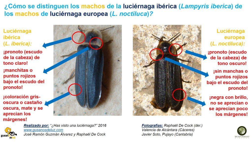 Macho de Lampyris iberica y macho de Lampyris noctiluca