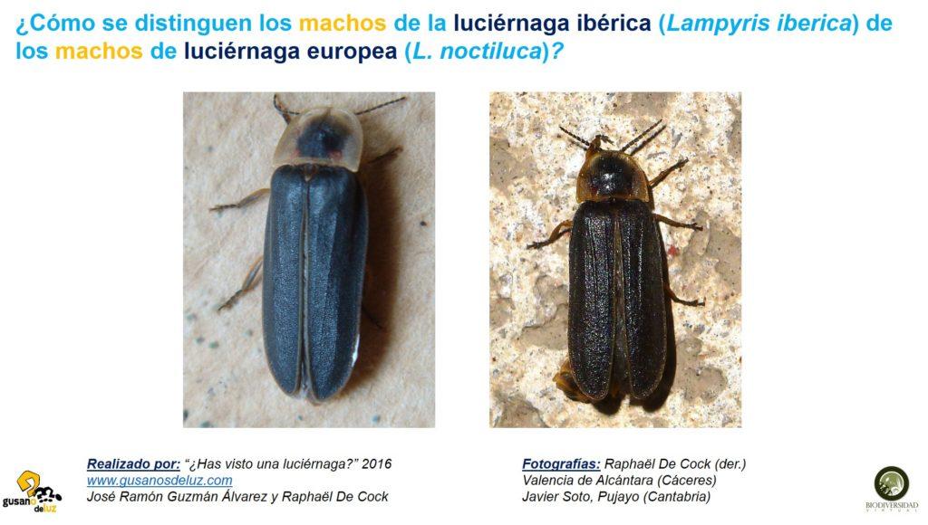 Macho de Lampyris iberica y macho de Lampyris noctiluca_solo foto