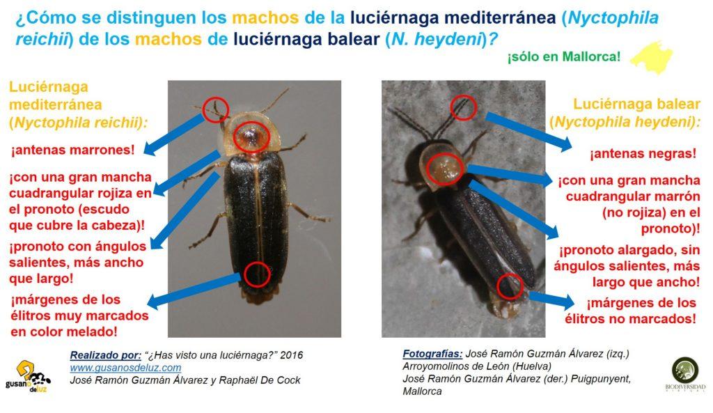 Macho de Nyctophila reichii y macho de N heydeni