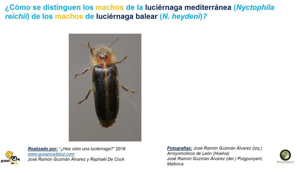 Macho de Nyctophila reichii y macho de N heydeni_solo foto