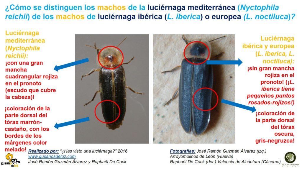 Macho de Nyctophila reichii y machos de Lampyris