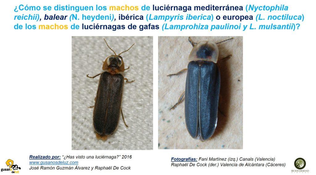 Machos de Nyctophila y Lampyris y machos de Lamprohiza_solo fotos