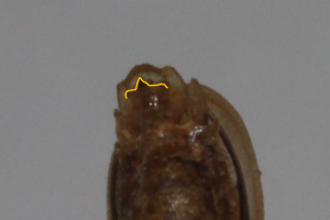 Nyctophila heydeni_último ventrito_José Ramón Guzmán