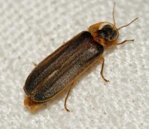 macho lamprohiza paulinoi