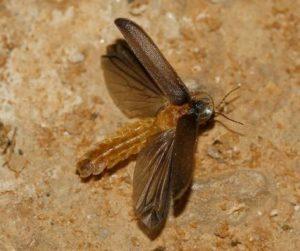 macho lamprohiza paulinoi alas desplegadas