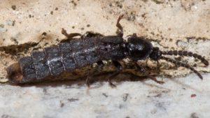 macho phosphaenus hemipterus